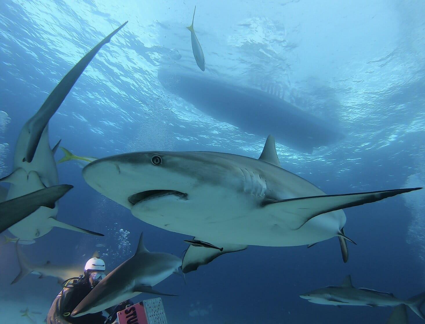 【サメの楽園バハマ】ゲージ無し!ナッソーで憧れのシャークダイビングをしてみた
